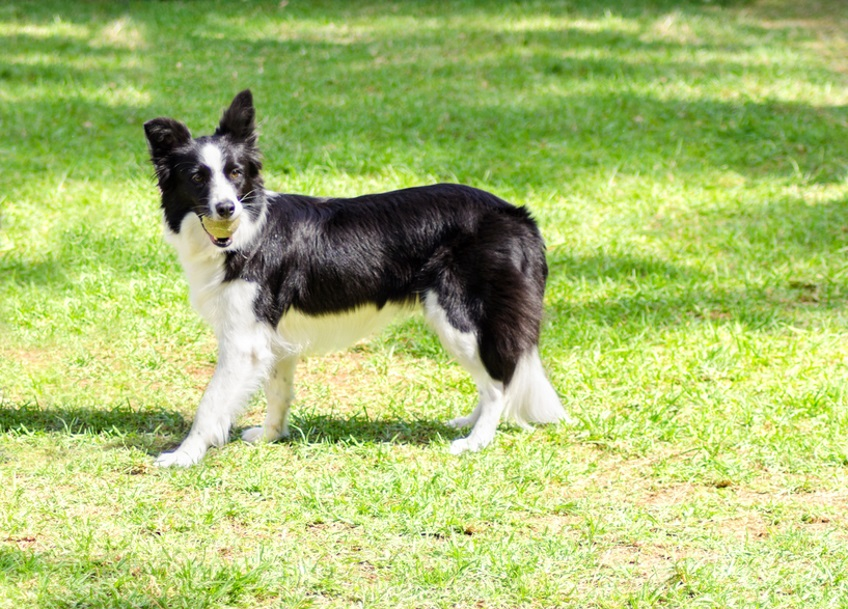A young, healthy, beautiful, black and white Border Collie dog standing on the grass looking very happy holding a ball in its mouth. The Scottish Sheep Dog is ranked as one of the most intelligent breeds